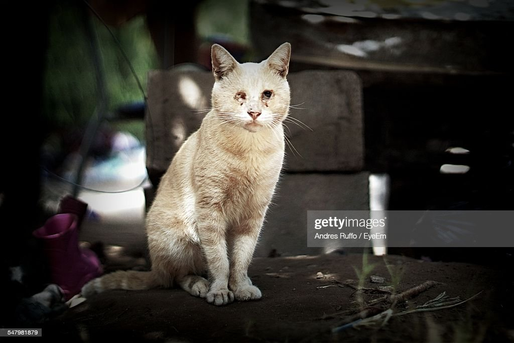 Portrait Of Wounded Cat Sitting On Table Outdoors : Stock Photo