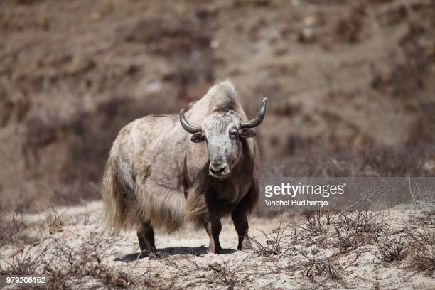 portrait of yak, jangothang, bhutan - yak stock pictures, royalty-free photos & images
