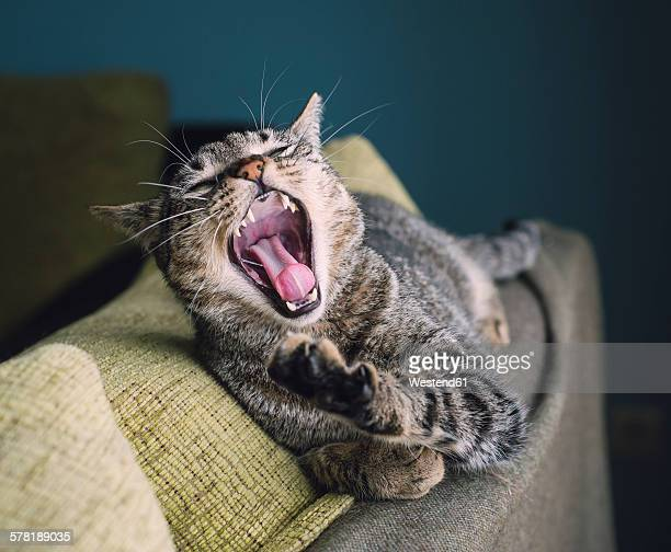 Portrait of yawning cat lying on the backrest of a couch
