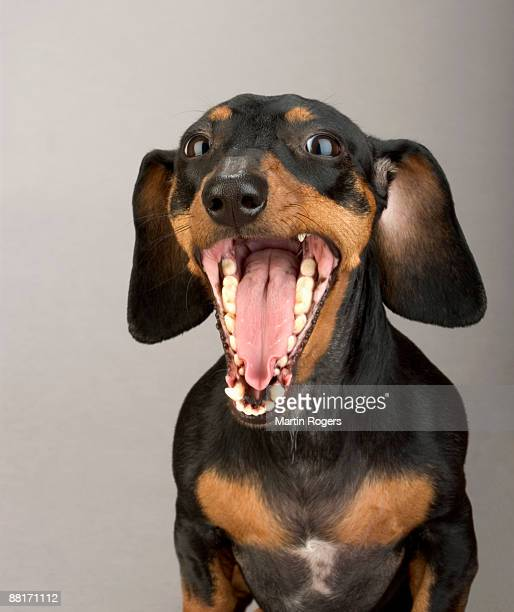 portrait of yawning dachshund - animal teeth stock pictures, royalty-free photos & images