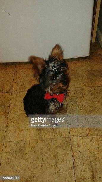 Portrait Of Yorkshire Terrier At Home