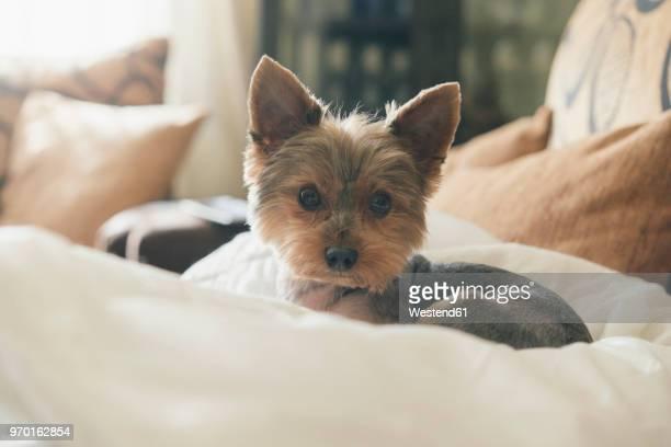 Portrait of yorkshire terrier lying on dog pillow