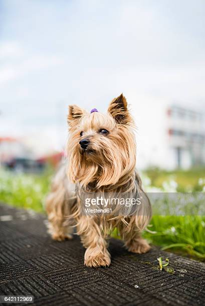 portrait of yorkshire terrier - yorkshire terrier stock pictures, royalty-free photos & images