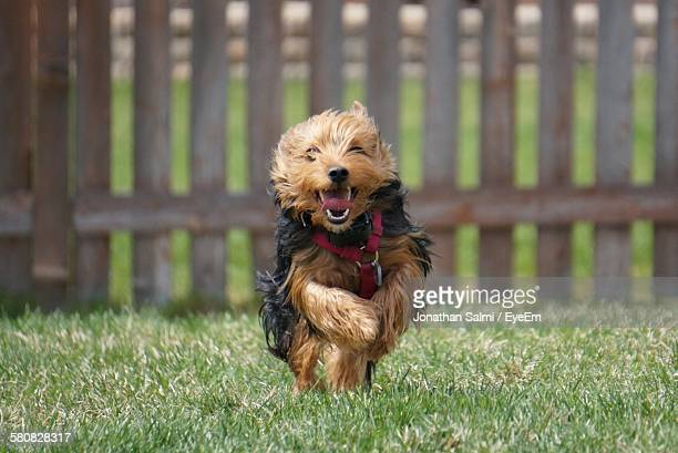 Portrait Of Yorkshire Terrier Running On Grass Against Fence