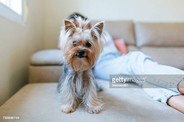 Portrait of Yorkshire Terrier sitting on couch at home