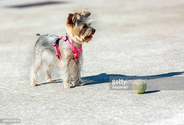 Portrait of Yorkshire Terrier standing in front of a ball