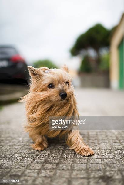 Portrait of Yorkshire Terrier with blowing hair