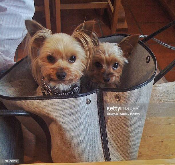 portrait of yorkshire terriers in bag on table at home - lap dog stock pictures, royalty-free photos & images