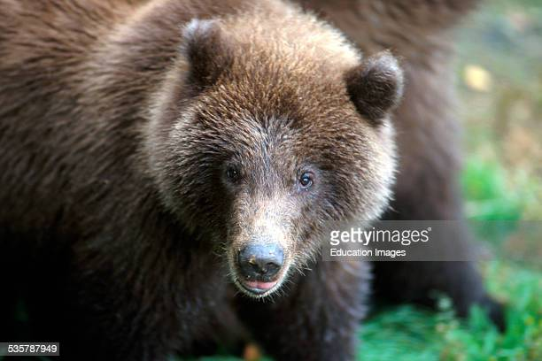 Portrait of Young Brown Bear Ursus arctos horribilis fishing at the waterfall and waiting hopefully on a salmon