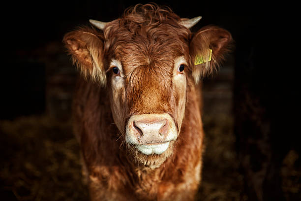 Portrait Of Young Cow Wall Art