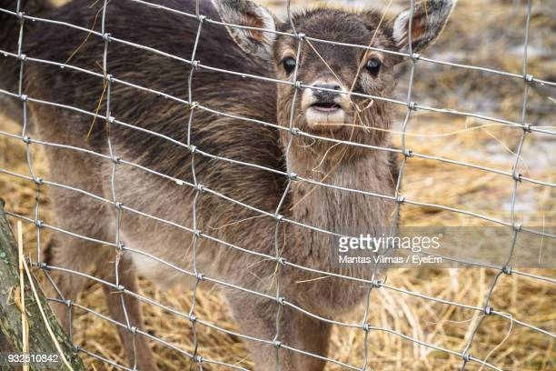 Portrait Of Young Deer In Cage