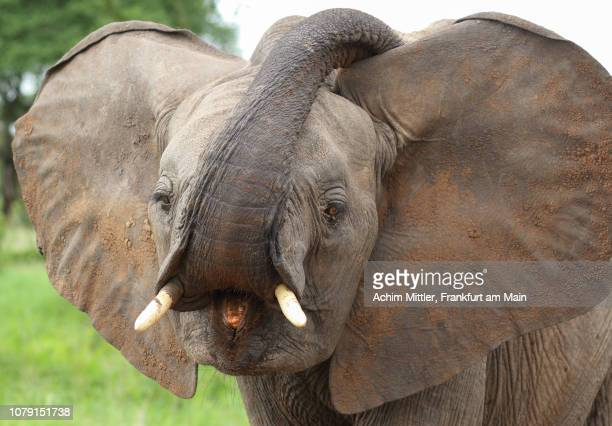 portrait of young elephant with raised trunk and open mouth - tarangire national park stock pictures, royalty-free photos & images
