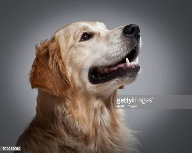 Portrait of young Golden Retriever