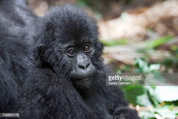 Portrait of young mountain gorilla (Gorilla beringei beringei), Volcanoes National Park, Rwanda