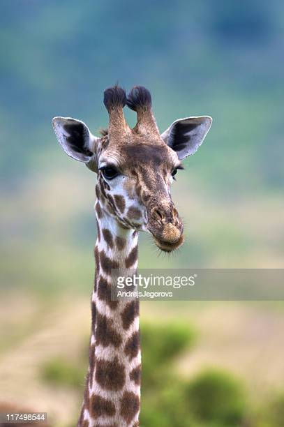 Portrait of young slender masai giraffe