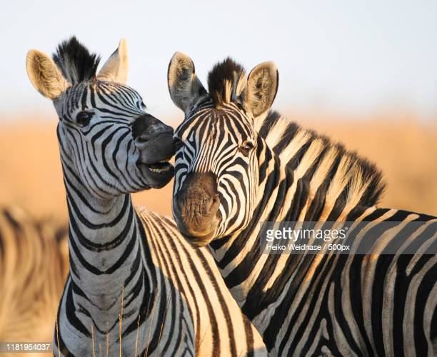 portrait of zebras - animals in the wild stock pictures, royalty-free photos & images