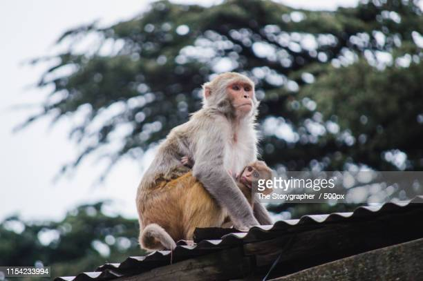 portrait of long-tailed macaque with baby - the storygrapher bildbanksfoton och bilder