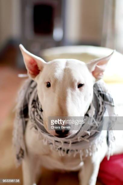 dog portrait - bull terrier stock pictures, royalty-free photos & images