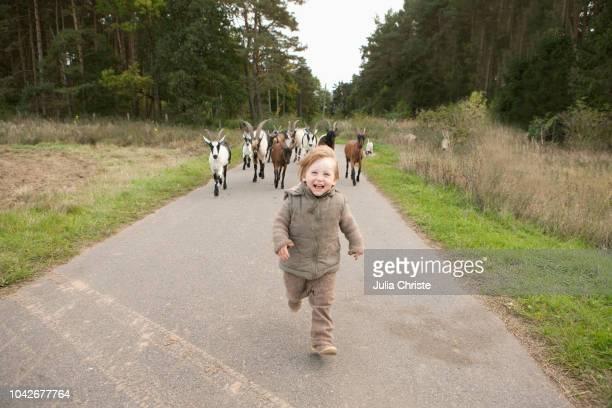 portrait playful girl being chased by goats on rural road - förföljande bildbanksfoton och bilder