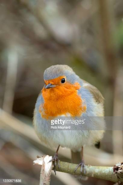 portrait red robin at the forest - publisher stock pictures, royalty-free photos & images