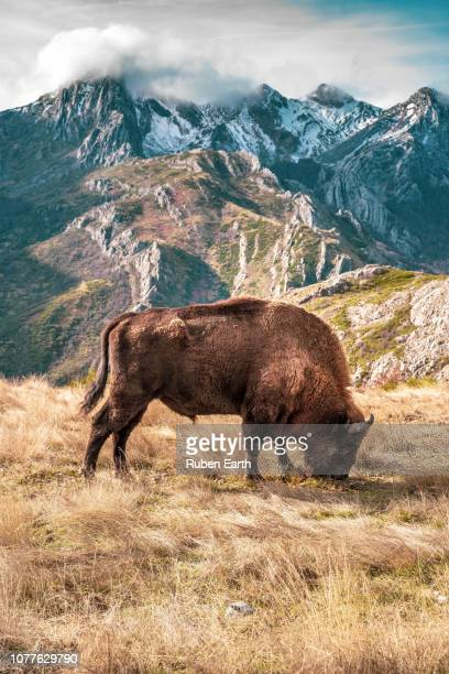portrait show of a bison pasturing with a mountain range behind - mammal stock pictures, royalty-free photos & images