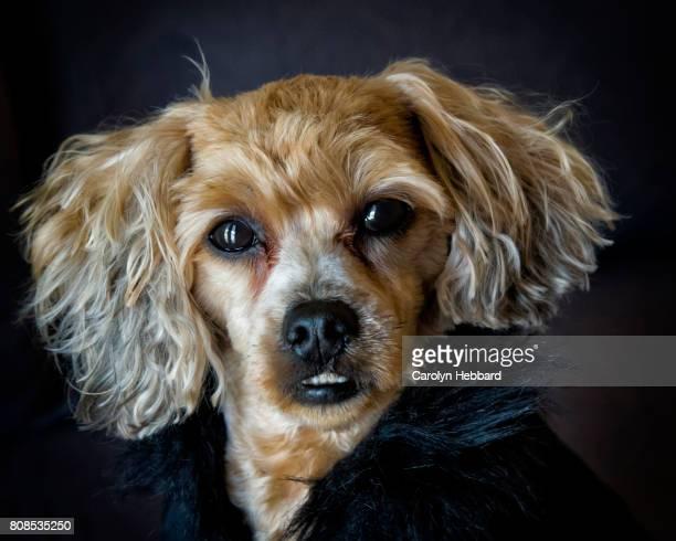 portrait small dog in faux fur coat - bichon maltais photos et images de collection