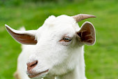 http://www.istockphoto.com/photo/portrait-the-young-white-sheep-on-the-grass-background-gm697282282-129287681