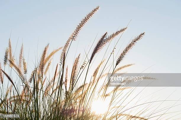 Portugal, Algarve, Sagres, View of grass on beach, close up