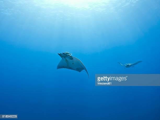 portugal, azores, santa maria, atlantic ocean, two mobula rays - dasiatide foto e immagini stock