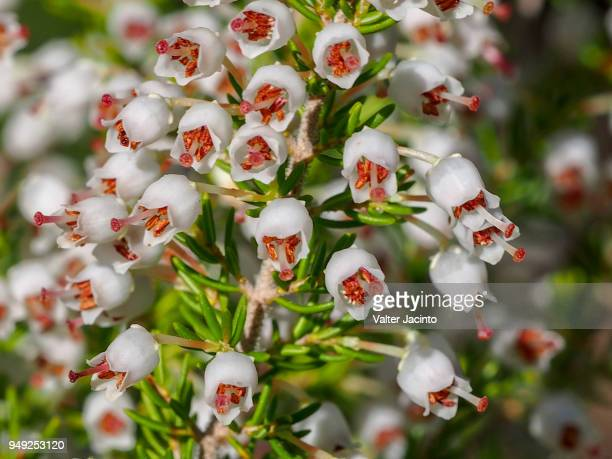 Portugal heath (Erica lusitanica)