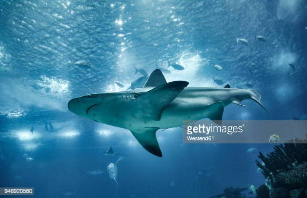 portugal, lisbon, oceanario de lisboa, aquarium with shark - un animal fotografías e imágenes de stock