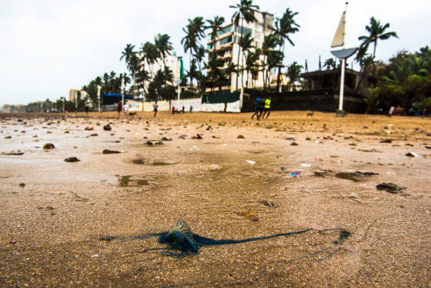 IND: Portuguese Man O' War Washed Ashore On Juhu Beach