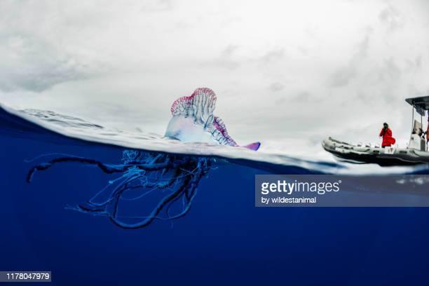 portuguese man o war floating on the surface, split shot, atlantic ocean, pico island, the azores, portugal. - wasseroberfläche stock-fotos und bilder