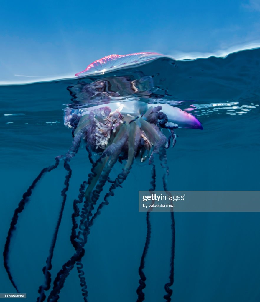 Portuguese man o war floating on the surface, split shot, Atlantic Ocean, Pico Island, The Azores, Portugal. : Stock Photo