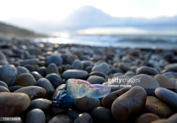 Portuguese Man O'War on Chesil Beach on January 17, 2020 in Portland, England. The highly venomous sea creatures have been washing up on Dorset...