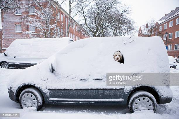 Portuguese Water Dog peeking from snow covered car