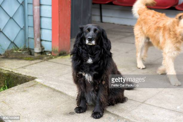 portuguese water dog - long haired dachshund stock photos and pictures