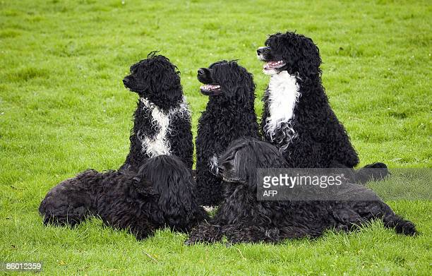 Portuguese Water Dogs pose at the Dutch dogkennel Casa Hoya in Leimuiden The Netherlands on April 17 2009 It is not certain whether or not the...