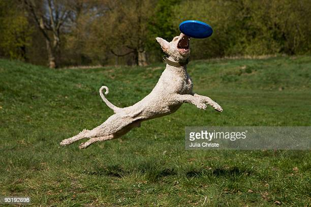 A Portuguese Waterdog in mid-air catching a plastic disc