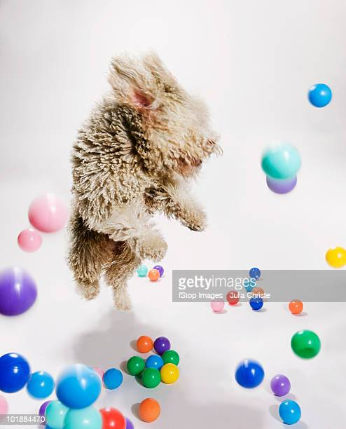 a portuguese waterdog jumping amongst falling colored balls - bouncing ball stock photos and pictures