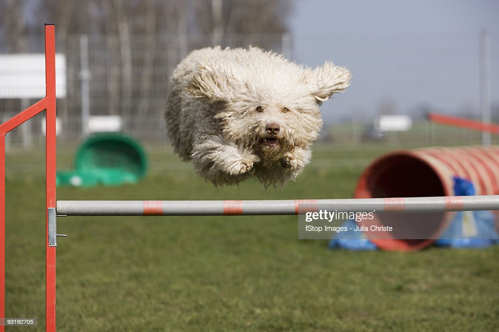 A Portuguese Waterdog jumping over a hurdle : Stock Photo