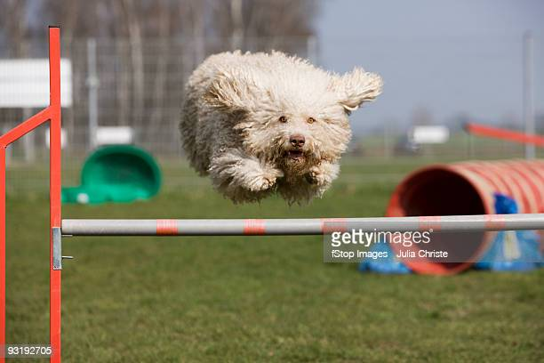 A Portuguese Waterdog jumping over a hurdle
