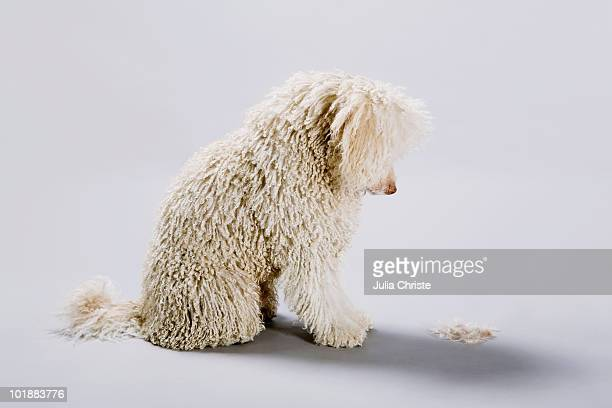 A Portuguese Waterdog looking down at its cut fur on the ground