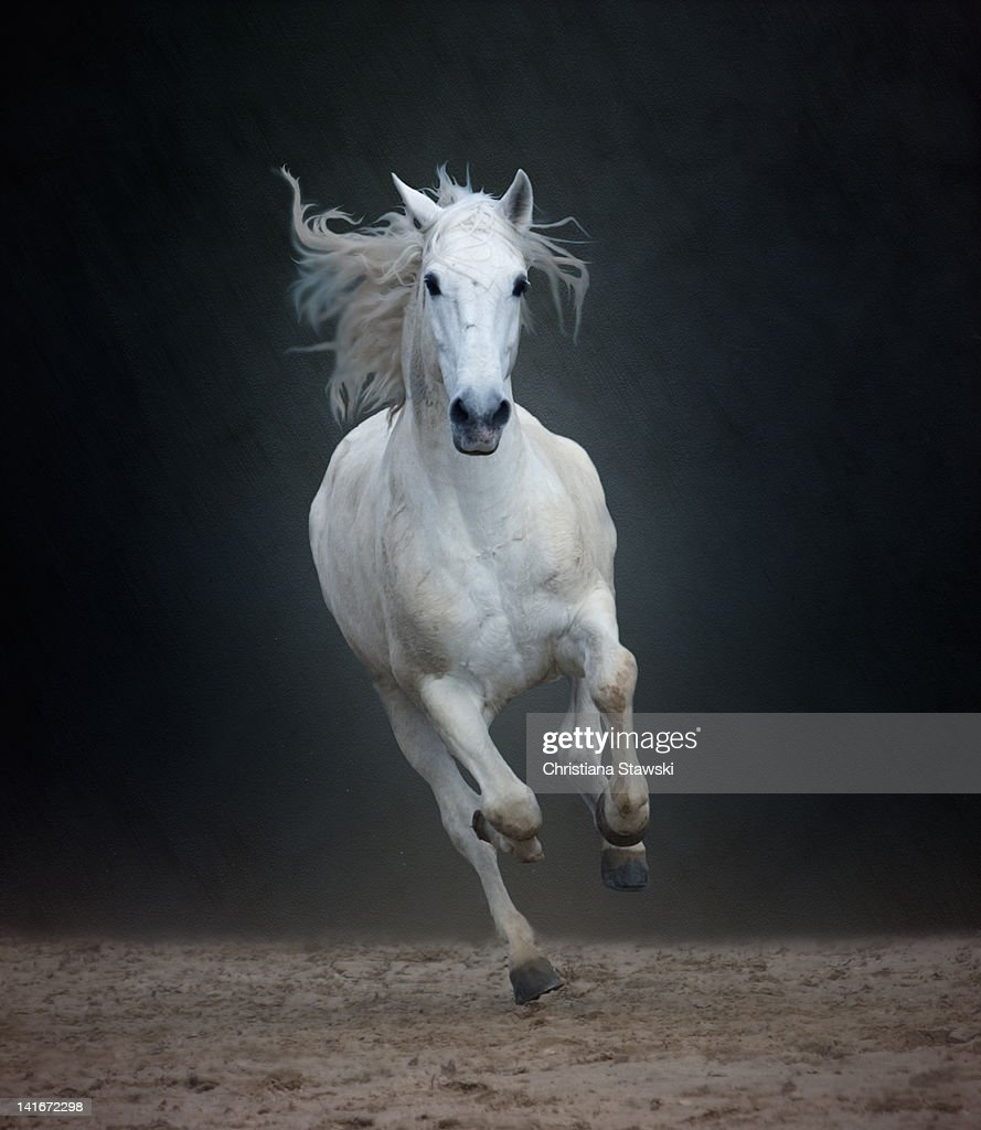 Portuguese white Lusitano horse galloping : Stock Photo