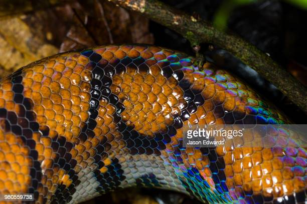 The iridescent scales and skin of a Rainbow Boa on the rainforest floor.