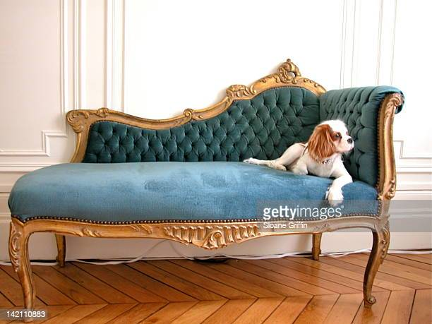 posh puppy reclines on chaise lounge - chaise longue stock photos and pictures
