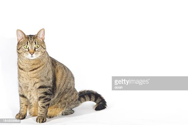 posing cat - fat cat stock photos and pictures