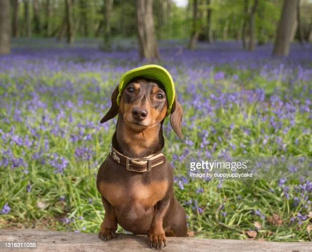 posing in the bluebells - pet clothing stock pictures, royalty-free photos & images