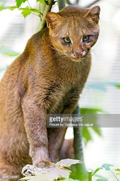 posing jaguarundi - yaguarondi foto e immagini stock
