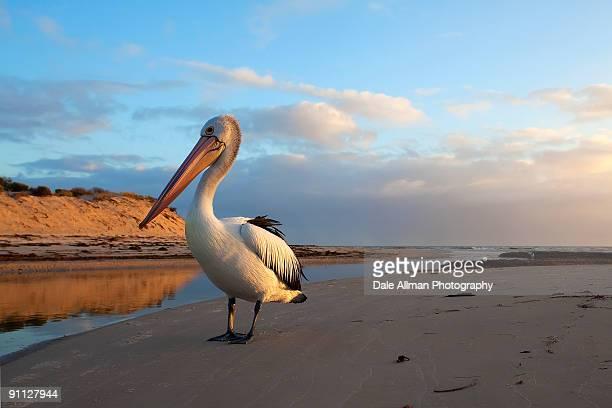 posing pelican - adelaide stock-fotos und bilder